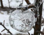 Pasojat e temperaturave të ulëta në SHBA, mollët mbulohen nga akulli (Foto)
