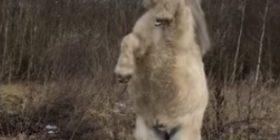 Befasohen nga poni që vallëzoi papritmas, sikur të ishte stërvitur në cirk (Video)