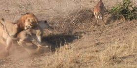 Luanesha u ndërpre nga luani, derisa ishte duke e kapur prenë (Video)