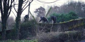 Majmunët ikën nga kopshti zoologjik, nëpërmjet trungut që e kishte rrëzuar era (Video)