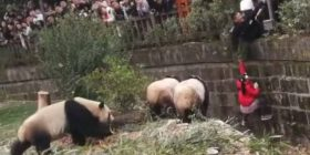 Shpëtohet me vështirësi vogëlushja që ra në kanalin e kafazit të pandave (Foto)