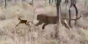 I vogli i antilopës qëndron afër leopardit, duke e ngatërruar me nënën e tij – gjithçka shkon në rregull, derisa tenton të largohet prej tij (Video)