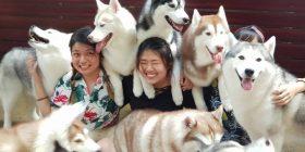 Një kafene në Tajlandë ofron një eksperiencë unike – mund të luani dhe të bëni fotografi me qentë Husky siberianë (Video)