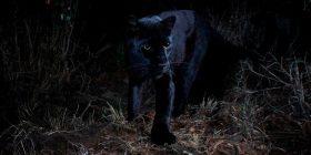 Leopardi i zi fotografohet në Afrikë, për herë të parë në 100 vjet! (Foto)
