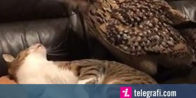 Bufi i shtëpisë zgjeroi territorin, përzuri macen e shtrirë në divan (Video)