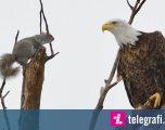 Ketri i patrembur, bashkë me shqiponjën qëndroi në një degë (Foto)