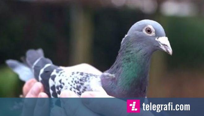 Kinezi pagoi 1.2 milion euro për një pëllumb, tri herë më shumë se rekordi i paguar për këtë shpezë garuese (Foto)