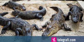 Krokodili gjigant befasoi shikuesit, të gjithë mendonin se është mashtrim optik (Foto)