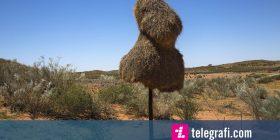 Në mungesë të pemëve, zogjtë ndërtuan fole gjigante nëpër shtyllat e telefonit (Foto)