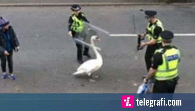 Njësiti policor përdori mburojat dhe copëzat e bukës, për të larguar një mjellmë nga rruga (Video)