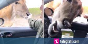 Vizitori i parkut deshi t'i jepte pak ushqim antilopës, por ajo e deshi të tërin (Video)