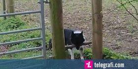 Shkopi që e mbante me dhëmbë, ia pamundësonte qenit kalimin nëpër hapësirën e ngushtë (Video)