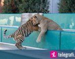 Shoqëria e këndshme mes këlyshëve të luanit dhe tigrit (Video)