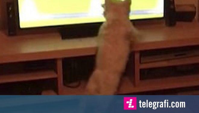 Vraponte sikur qentë tjerë, donte të bëhej pjesë e garës që shfaqej në televizion (Video)