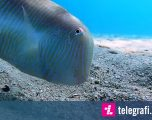 Zhduket papritmas nën tabanin e detit, peshku del sërish me po aq shpejtësi (Video)