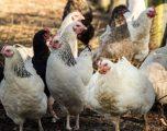Pulat 'u bashkuan për të vrarë dhelprën' në një shkollë bujqësore në Francë