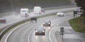 """Demi i arratisur përfundon në autostradë, u desh intervenimi i policisë për të """"zhbllokuar"""" komunikacionin (Foto)"""