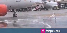 Aeroplani ngadalësoi shpejtësinë, shkaku i një flamengoje që lëvizte ngadalë në pistë (Video)