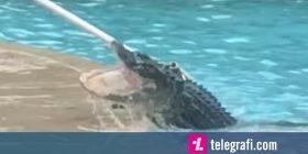 Krokodilin gjigant që ra në pishinë, e largoi një profesionist që merret me reptilë (Video)