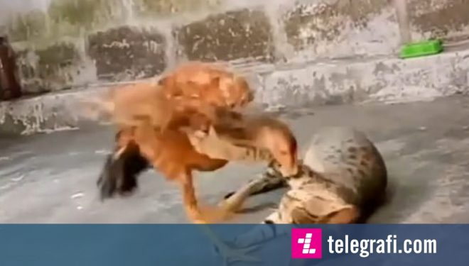 Shoqëria e pazakontë mes maces dhe gjelit që jetojnë në të njëjtin oborr (Video)