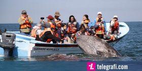 Turistët patën mundësinë e rrallë, të ledhatojnë dy balena shumë të shoqërueshme (Video)