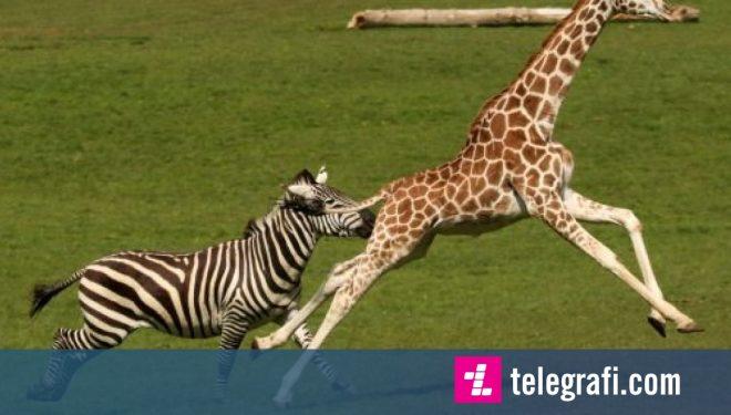 Zebra dhe gjirafa në garë vrapimi para vizitorëve të kopshtit zoologjik (Foto)