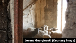 Vetëm delet që barinjtë nga ishullit Rab i sjellin këtu për t'i kullotur dhe disa lepuj janë banorët e ishullit të Goli Otok-ut.
