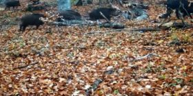 Rikthehen në Parkun e Gërmisë derrat e egër