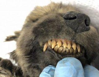 """Është gjendur """"këlyshi"""" i ngrirë 18,000-vjet më parë"""