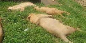 Për magji të zezë, 16 luanë mbytën mizorisht  për t'ju marrë dhëmbët dhe putrat, që t'i shesin në tregun e zi