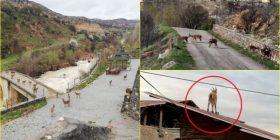 Turqit në shpi shkaku i koronavirusit, dhitë e egra në kulm të shtëpisë