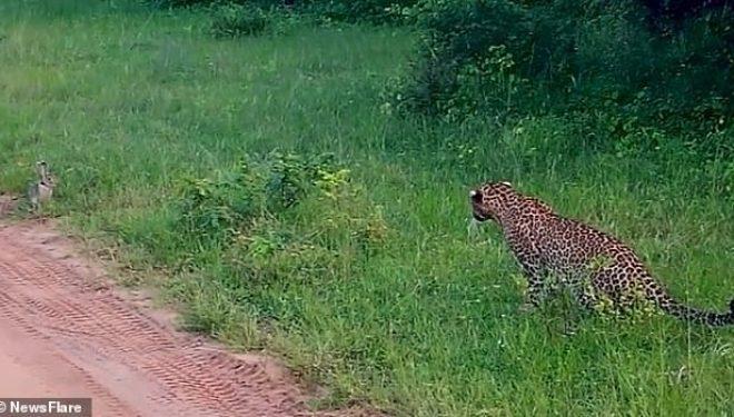 I shpëton për një fije floku gojës së leopardit