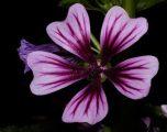 Ilaç i magjishëm i natyrës: Kjo bimë me siguri pastron mushkëritë, shëron gastritin, qetëson inflamacionin e lukthit dhe fshikëzën!