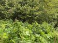 Policia e Kosovës shkatërron plantacione me bimë narkotike në zonën e Koshares