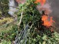 """Policia asgjëson në Gjakovë 212 bimë narkotike """"Canabis Sativa"""""""
