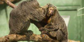 Eksperimenti finlandez: Majmunët preferojnë më shumë zhurmën e veturës sesa tingujt nga natyra