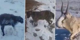 I ftohti ekstrem i ngrin kafshët në Kazakistan