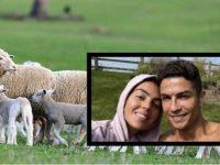 Ronaldo braktis shtëpinë në fshat, delet e zgjonin herët nga gjumi
